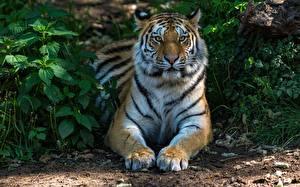 Картинка Тигры Лапы Смотрит