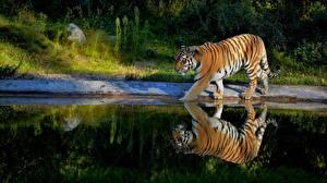 Картинки Тигры Пруд Отражение Животные