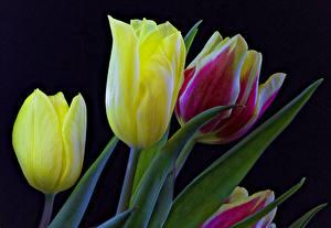 Обои Тюльпаны Крупным планом Черный фон Цветы