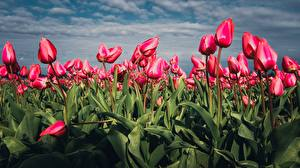 Картинка Тюльпаны Поля Розовый Цветы