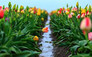 Обои Тюльпаны Поля Тропа Цветы