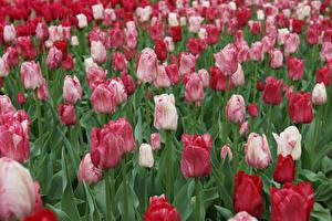 Картинки Тюльпаны Много Цветы