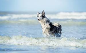 Картинка Волны Собаки Вода Бегущий Бордер-колли Животные