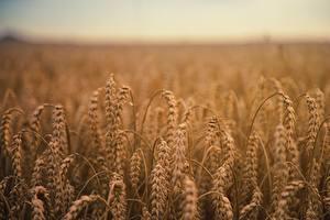 Картинка Пшеница Поля Колос by Johannes Plenio Природа