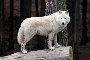 Фотография Волки Белый Животные
