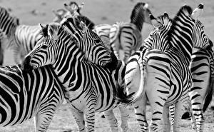Фотография Зебры Много Черно белое Животные