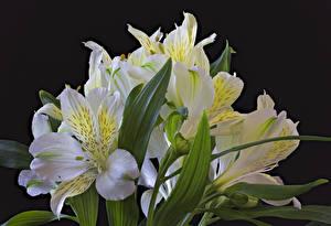 Фото Альстрёмерия Вблизи Черный фон Белый Цветы