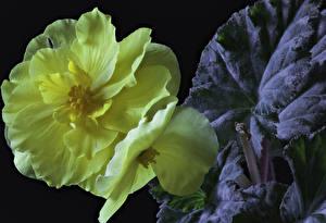 Фотографии Бегония Крупным планом Черный фон Желтый Цветы