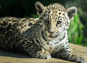 Картинка Большие кошки Ягуары Детеныши