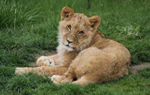 Фотографии Большие кошки Львы Детеныши Взгляд Животные