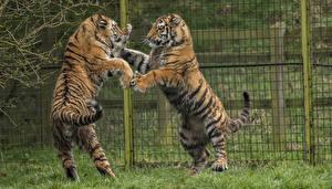Фотографии Большие кошки Тигры Две Ограда Сражение животное