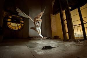 Картинки Птицы Совы Мыши Охота