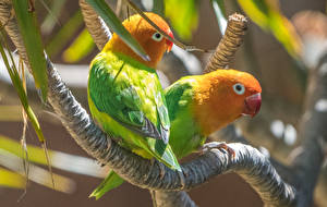Обои Птица Попугаи Ветка 2