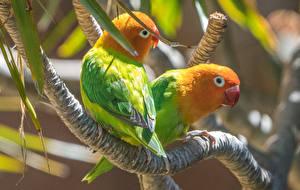 Обои Птица Попугаи Ветка 2 животное