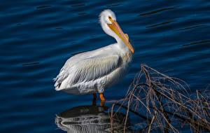 Картинки Птицы Пеликаны Вода Животные