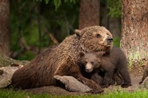 Обои Медведи Гризли Детеныши 2 Животные
