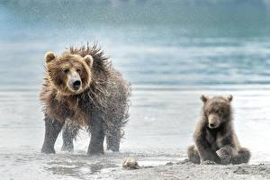 Фото Медведи Бурые Медведи Детеныши Вдвоем Брызги Мокрые Животные