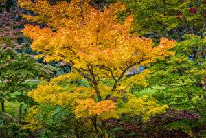 Обои Канада Парки Осень Ванкувер Дерева VanDusen Botanical Garden Природа