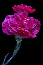 Фотография Гвоздика Вблизи На черном фоне Розовая Цветы