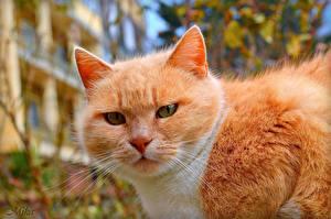 Фото Кошки Рыжий Морда Усы Вибриссы