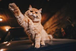 Картинка Кошки Лап Рыжий Животные