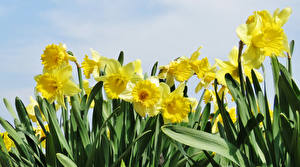 Фотографии Нарциссы Вблизи Желтый цветок