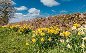 Фотографии Нарциссы Много Цветы