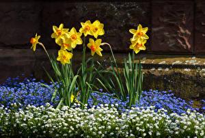 Картинка Нарциссы Желтых Цветы
