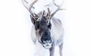 Фотография Олени Зима Рога Снег Белый фон Животные