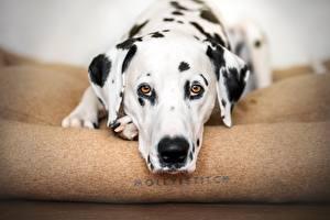 Картинка Собака Далматин Морды Взгляд Животные