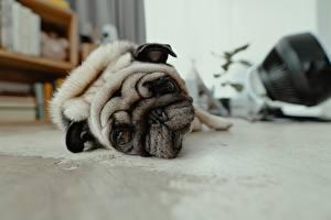 Фото Собаки Смотрит Морда Мопсы Тоска Лежит Животные