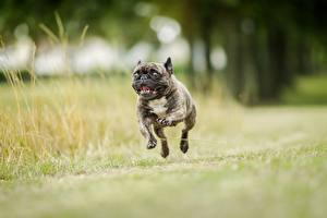 Картинки Собаки Бежит Прыжок Черный Бульдога Животные