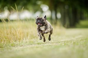 Картинки Собаки Бежит Прыжок Черный Бульдога