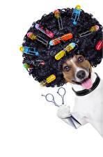 Обои Собаки Белый фон Джек-рассел-терьер Волосы Язык (анатомия) Смешные Животные