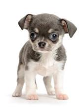 Картинка Собаки Белый фон Щенок Чихуахуа Животные