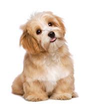 Фотография Собаки Белый фон Щенок Смотрит Животные