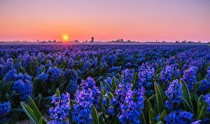 Обои Поля Рассветы и закаты Гиацинты Много Голубая Солнце Цветы