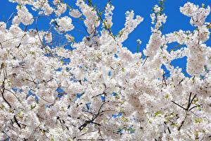 Картинка Цветущие деревья Ветвь Белый Сакура Цветы