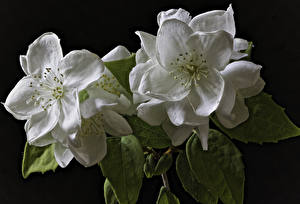 Картинки Цветущие деревья Вблизи Черный фон Двое Белые Jasminum цветок