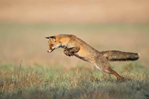 Картинки Лисы Трава Прыжок животное