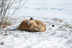 Фотографии Лисица Снег Сон Лежачие животное