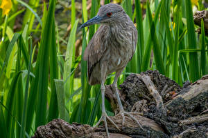 Обои Цапли Лапы Night Heron Животные