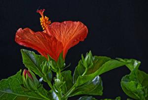 Фотография Гибискусы Вблизи Черный фон Красный Бутон Цветы