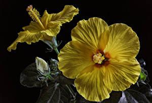 Обои Гибискусы Крупным планом Черный фон Желтых Бутон Цветы