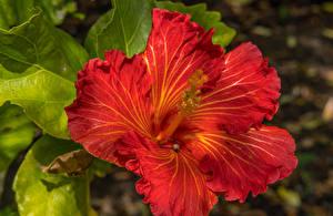 Фотографии Гибискусы Крупным планом Красный Цветы