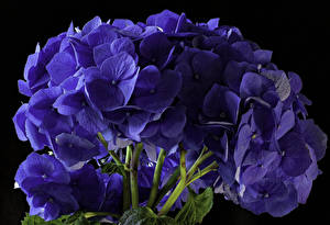 Картинки Гортензия Крупным планом Черный фон Синих Цветы