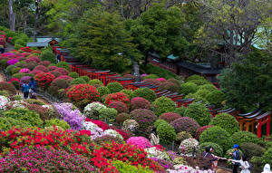 Обои Япония Токио Парки Рододендрон Кустов Природа