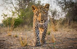 Фотография Леопарды Детеныши Смотрит Животные