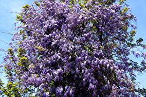 Фото Сирень Ветка Фиолетовый Цветы