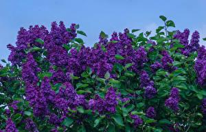 Фотографии Сирень На ветке Фиолетовых Цветы